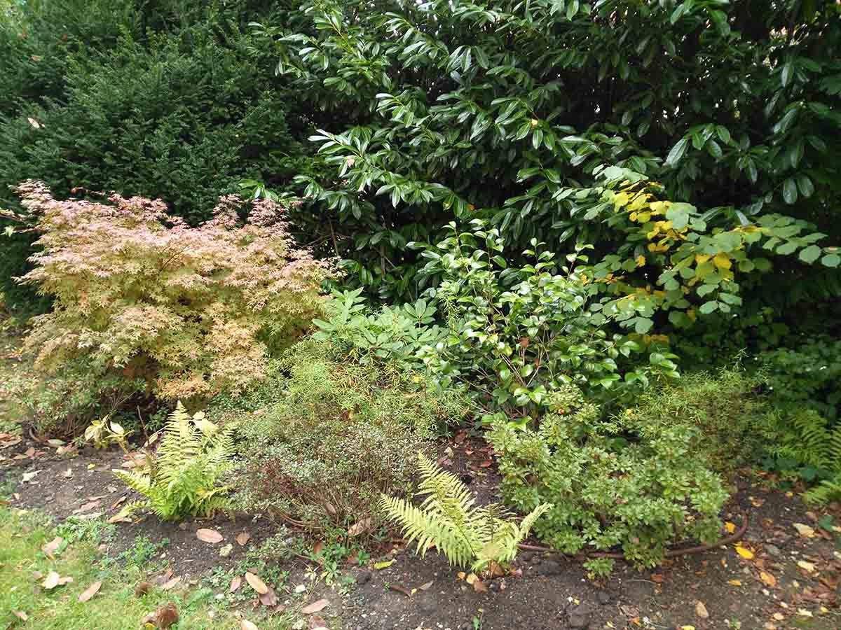 Mélange d'arbustes de terre de bruyère (azalée,  rhodo&camelia) accompagné de fougères
