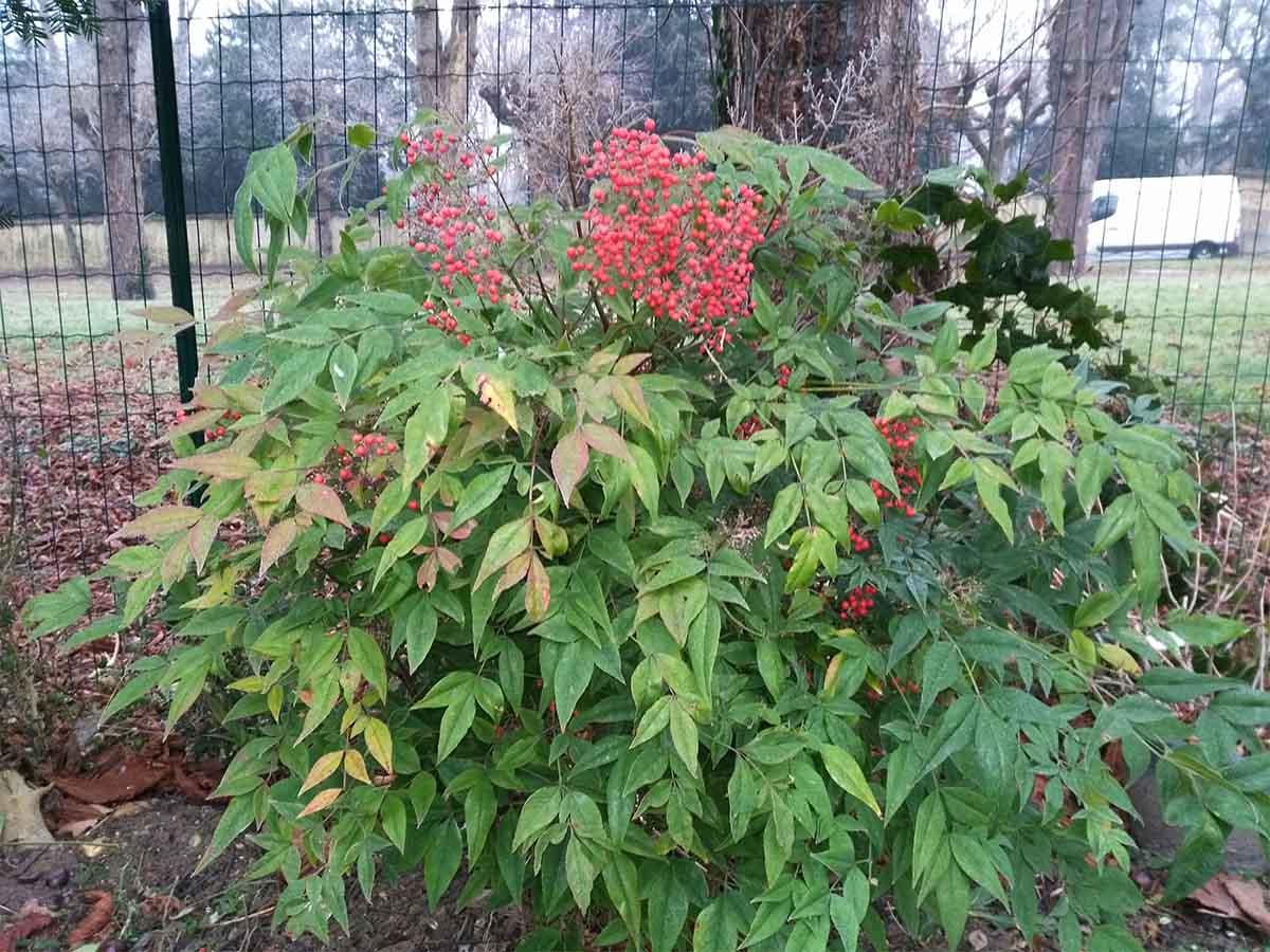 Fructifications hivernales d'un Nandina domestica : encore de la couleur !
